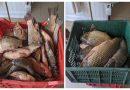 300 de metri de plase și 100 kg de pește confiscate la Razelm
